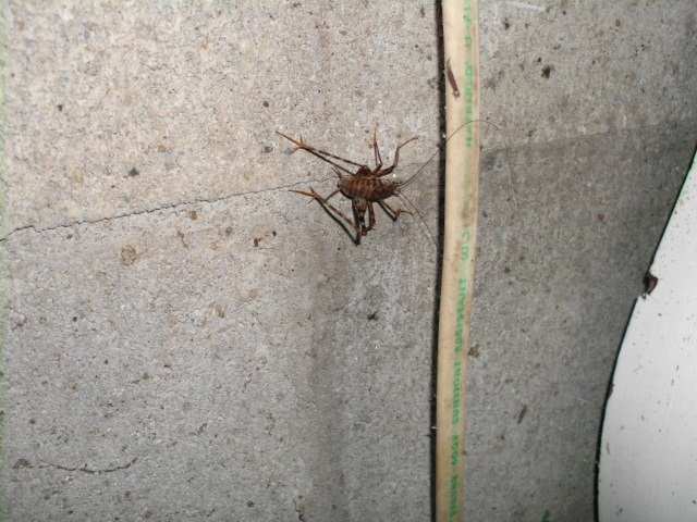 Spider Cricket 1