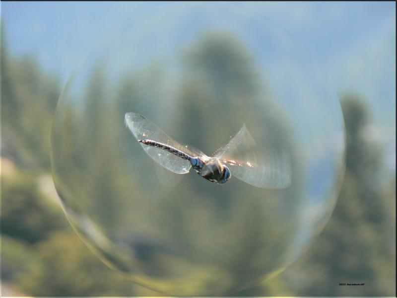 Dragonfly - Photo: Brad Andersohn 2007