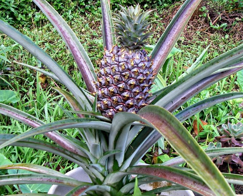 Unusual looking plants and flowers from hawaii for How to plant a pineapple top in a pot