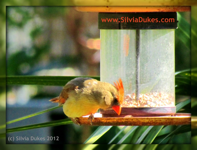 Female Cardinal Photo by Silvia Dukes