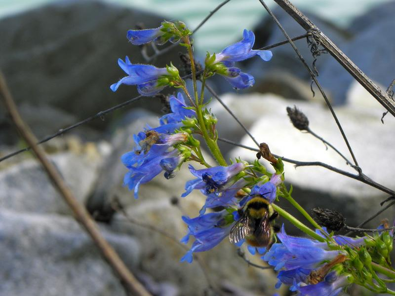 Bumble Bee busy at work along Lake Pend Oreille