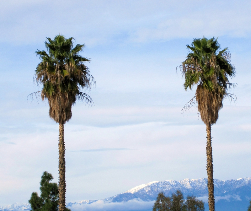Southern California Palm Tree in the Snow