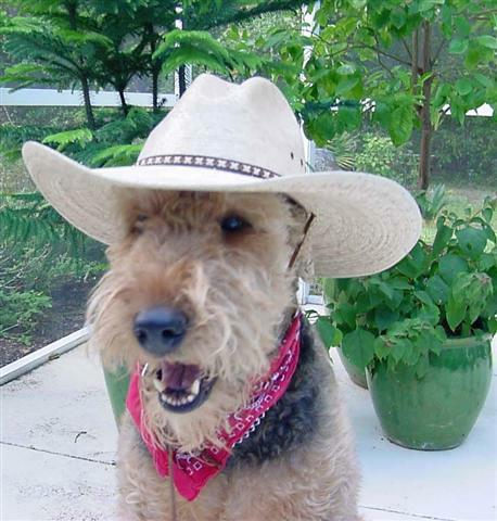 Airedale with cowboy hat