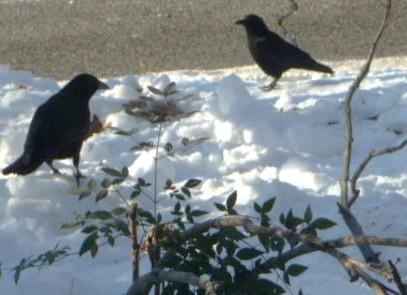 Big Black Birds HomeRome 410-530-2400