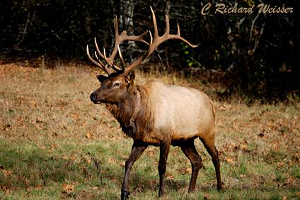 Cataloochee Elk in the Great Smoky Mountains National Park
