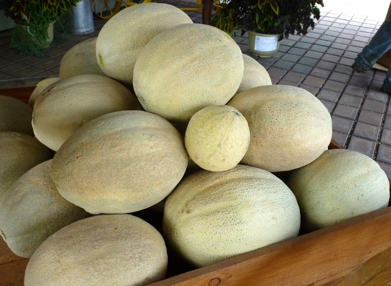 Giant cantaloupes