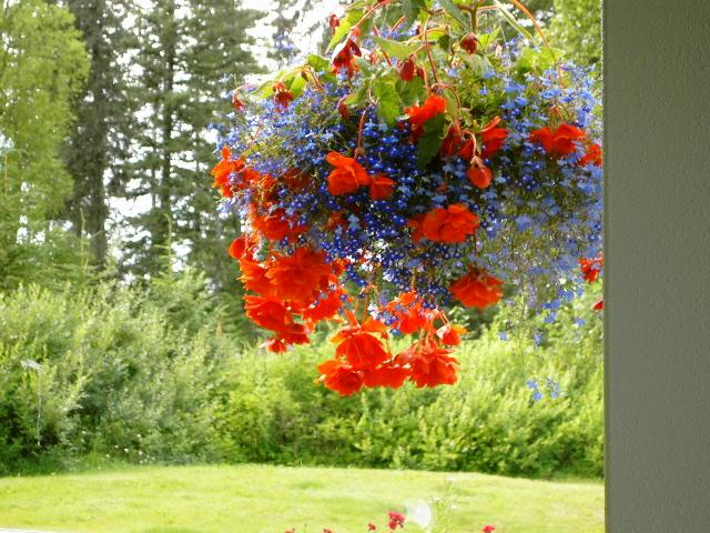 Looking For Alaska Flower: Summer In Homer Alaska Flowers Everywhere