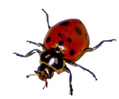 Lady Bug S