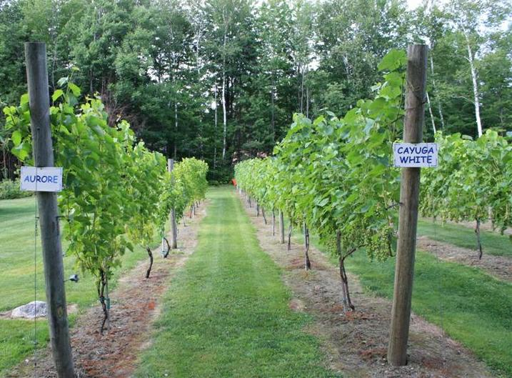 Rows of White grapevines
