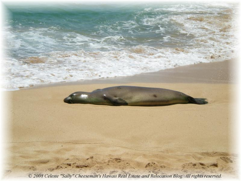 Endangered Hawaiian Monk Seal Spotted On The North Shore