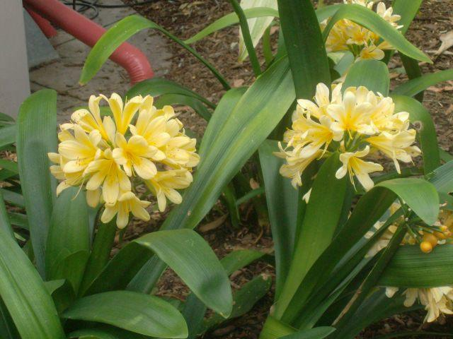 Yellow clivia, a rare color