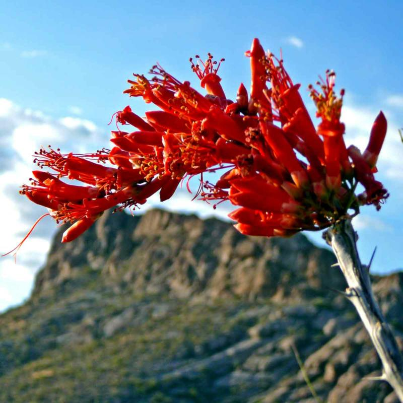 "The ocotillo ""flame"" provides food for hummingbirds migrating north"