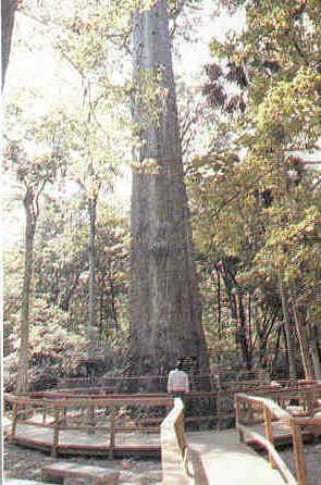 the sentator at big tree park longwood, florida