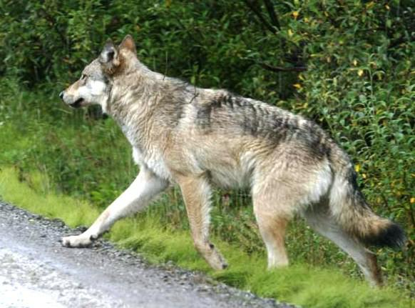 Gray wolf - photo from Google Images