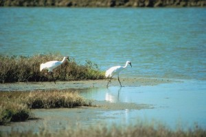 Whooping Cranes on Lake Lewisville