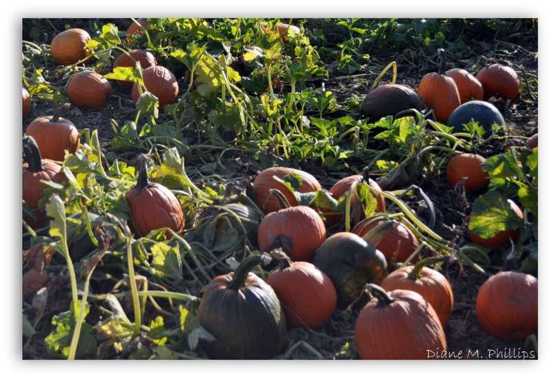 Baugers Orchard - Pumpkin Patch