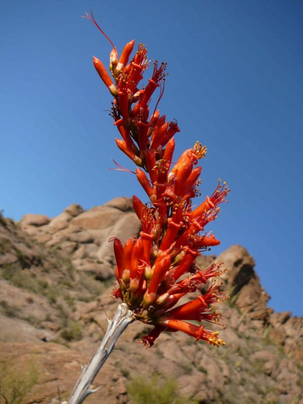 Ocotillo flame in the Tucson Mountains, Tucson, AZ