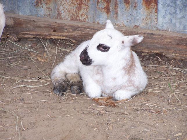 registered hair sheep katahdin