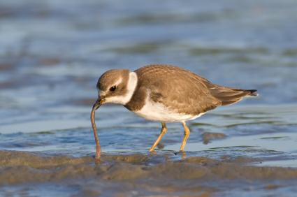 Picture of bird on beach picking up a worm