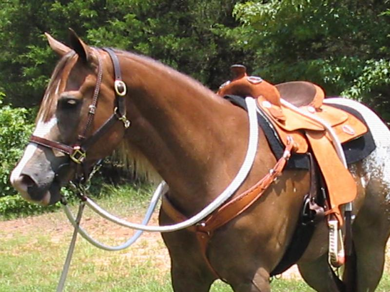 Appaloosa Horse with Saddle