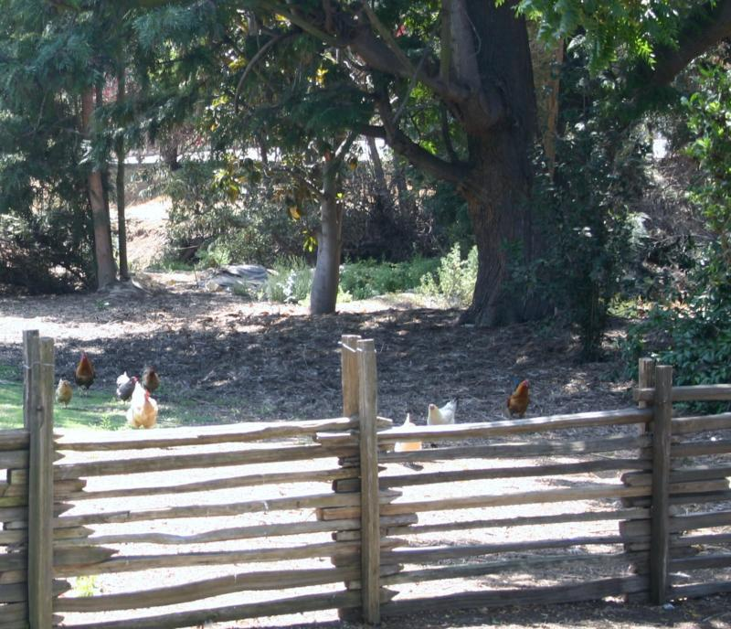 Santa Ana Heights Chickens