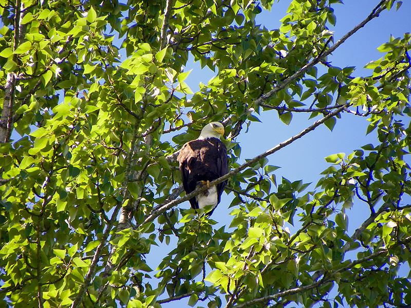 Eagle in the trees along Lake Pend Oreille