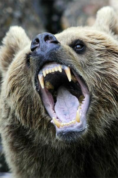 brown bear snarl mouth