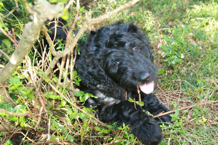 Goldendoodle Puppy at 8 weeks in Honolulu