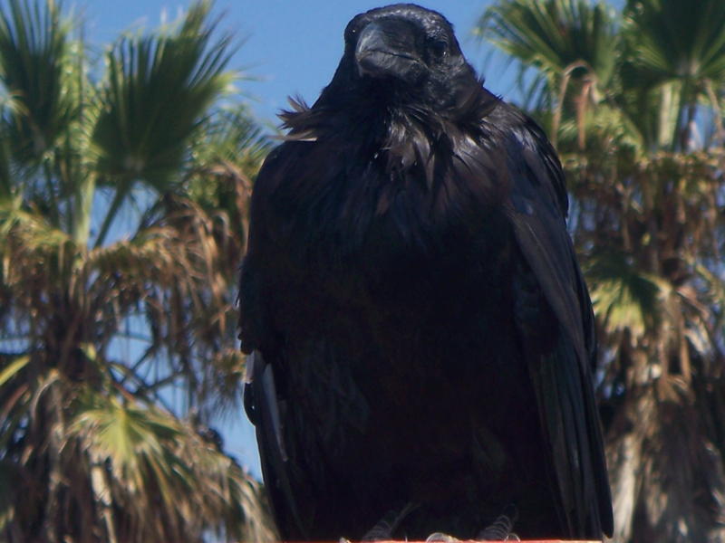 Crow (or raven?) at the Torrey Pines GliderPort in La Jolla CA