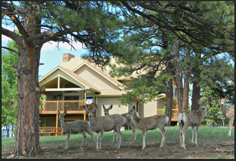 Deer at 10208 Cherokee Lane Parker, Co