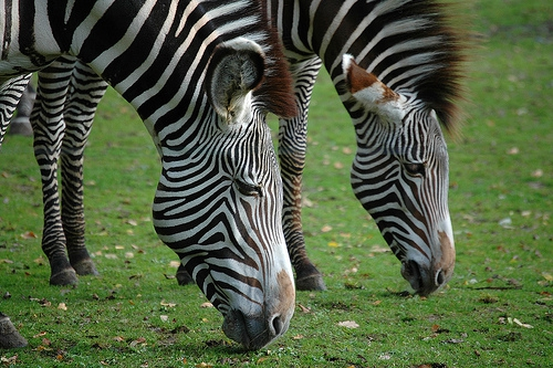 Two Zebras, Same Stripes