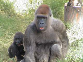 Albuquerque  Bio Park Mourns The Death of Beloved Gorilla ' Lina' , John McCormack, Realtor, Albuquerque Homes Realty