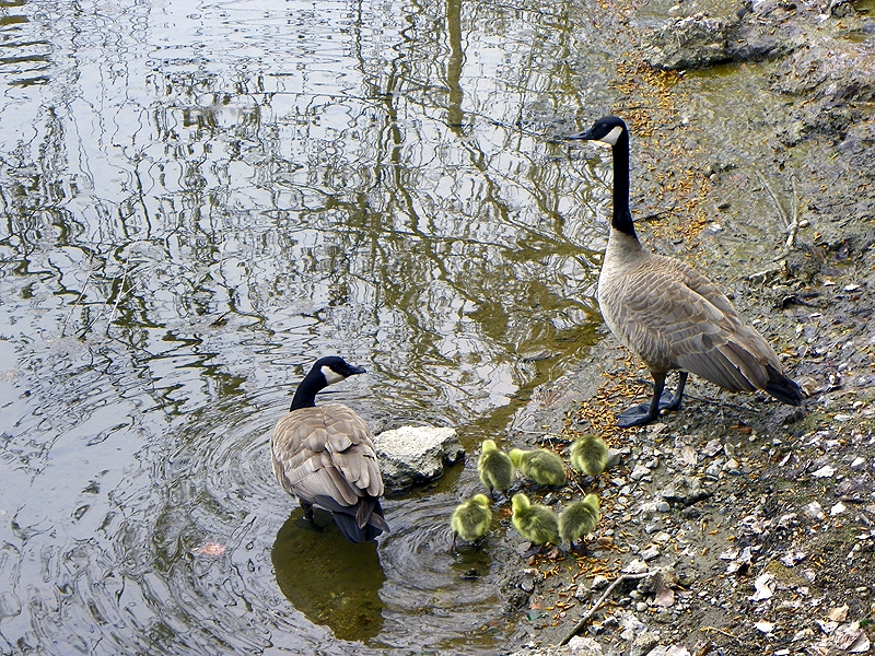 Sweetie and Sinatra, the resident geese at Arlo's Ristorante in Sandpoint, Idaho