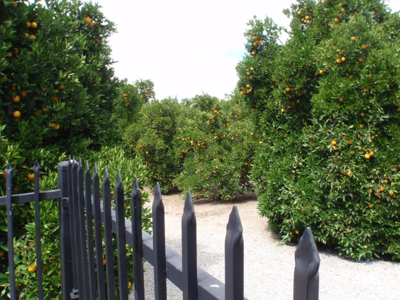 another orange grove shot in Tarzana by Endre Barath