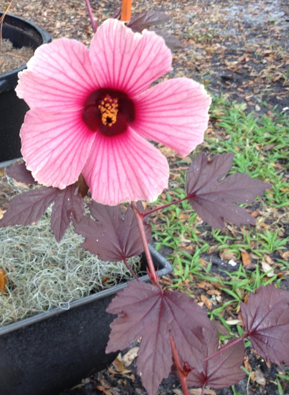 My Cranberry Hibiscus Plant Beautiful And Edible