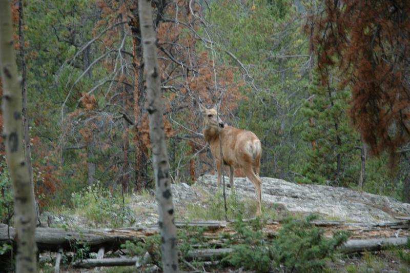 deer in rocky mountain national park
