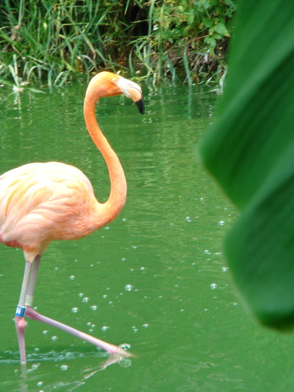 Flamingo at the Jacksonville Zoo