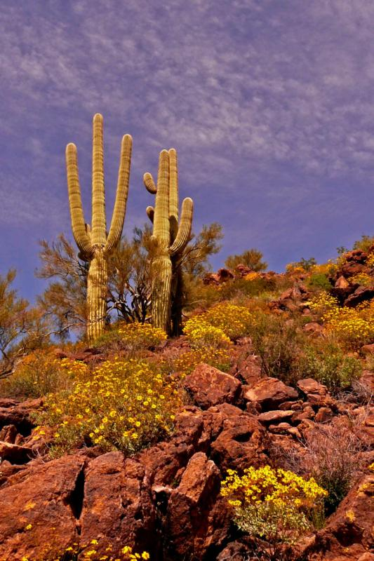 Winter rains bring March flowers in the desert southwest