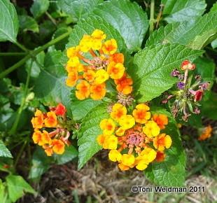 Nature In Florida The Lantana Plant