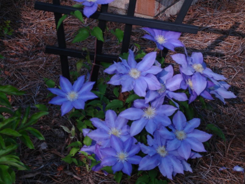Salvia clematis and peonyspring flowers are here in charlotte nc mightylinksfo