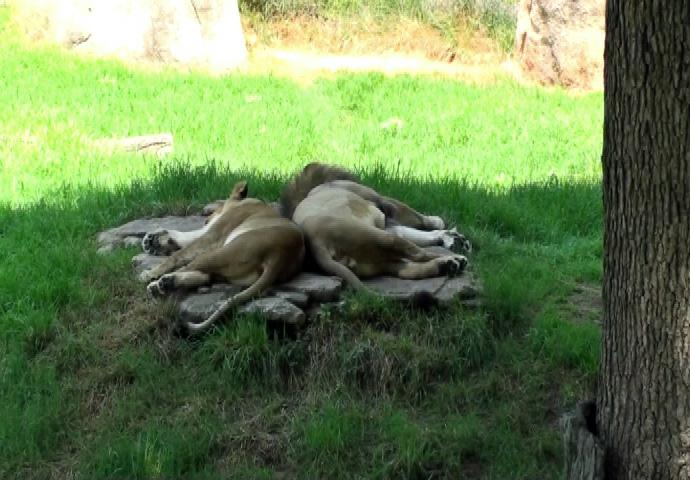Sleeping Lions at the NC Zoo in Asheboro, NC