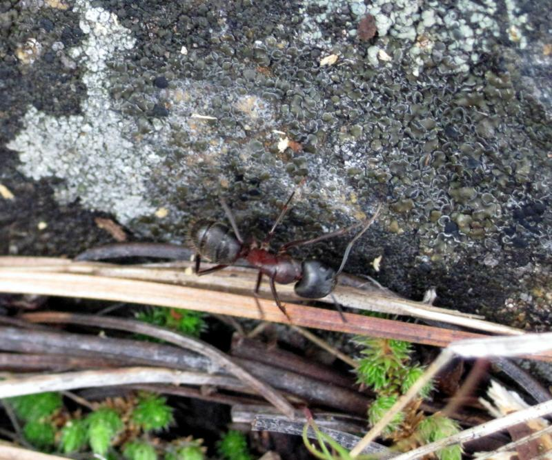 Okanogan Home Inspections- Ant in grass
