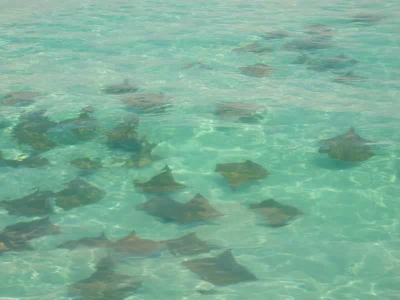 Sting Rays at Crab Island