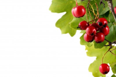 Christmas berries