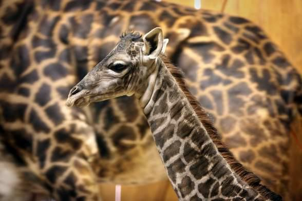 Masai Giraffe Mother, Masai Giraffe Newborn
