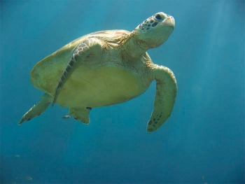 Underwater Sea Turtle Article Dr. Jean K. Lightner