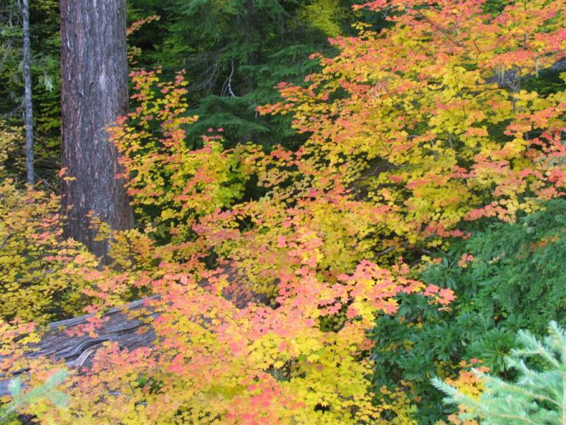 Fall Foliage in Lane County - vine maple