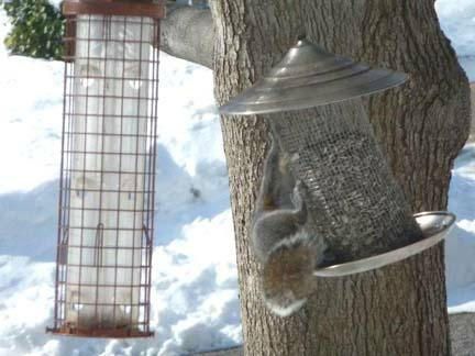 Squirrel hanging on feeder HomeRome.com