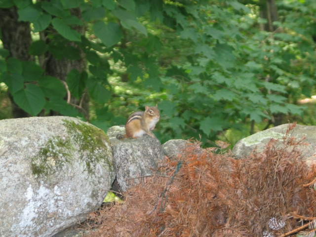 Greenwich, Ct, Fairfield County Ct. Chipmunk