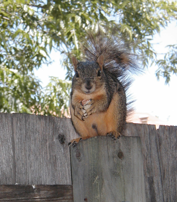 Squirrel sitting on a fence eating a nut